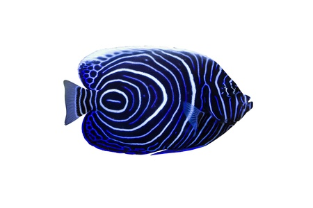 aquarium hobby: Pomacanthus navarchus blue girdled angel sea fish isolated on white background