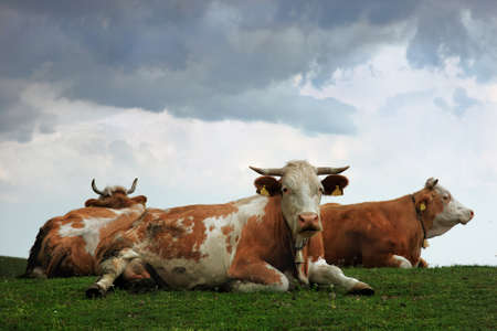 cud: cows on the hill, chew the cud, on a cloudy afternoon