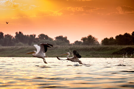 danube delta: Pelicans from Danube Delta Stock Photo