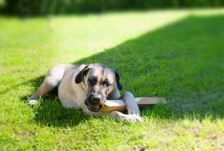 boerboel dog: boerboel dog lying on the grass and chewing on a stick