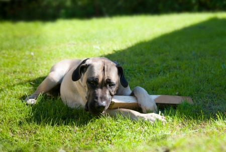 boerboel dog lying on the grass and chewing on a stick photo