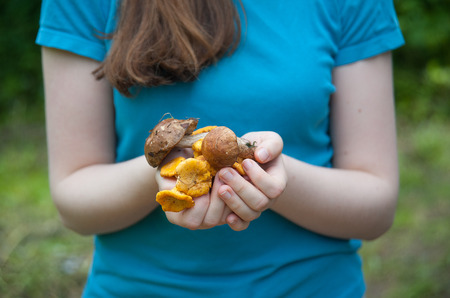 picking fingers: yellow chanterelles in the palms of the girl Stock Photo