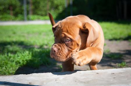 one puppy Dogue de Bordeaux