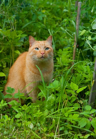 stray: red cat in the grass in the summer there are no people