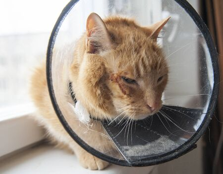 cat looking sad in neck collar to stop it licking a wound Banque d'images - 145067745