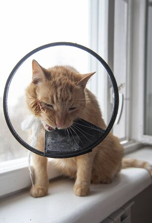 Sick red cat suffering after surgery and wears a protective collar. Banque d'images - 144894447