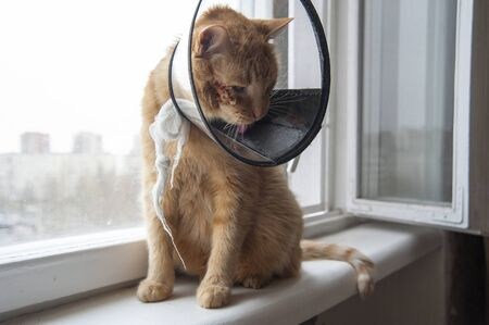 cat looking sad in neck collar to stop it licking a wound