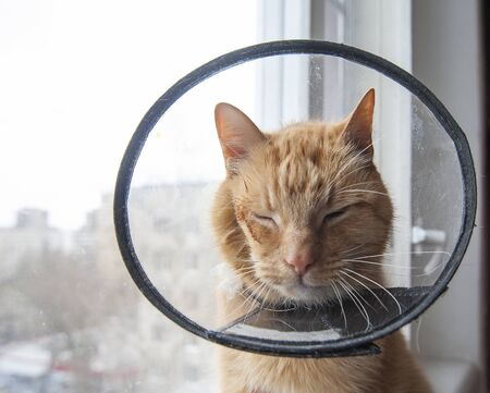 Sick red cat suffering after surgery and wears a protective collar.