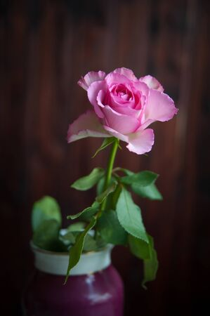 one pink rose on a dark background close-up Banque d'images