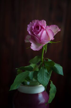 one pink rose on a dark background close-up Banque d'images - 146876395