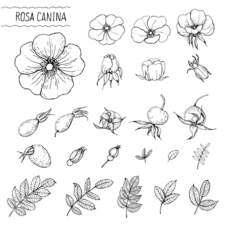 Black and white sketch of rose hips for making labels, perfume and cosmetic products, childrens coloring books.