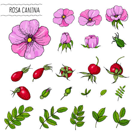 Color sketch of rose hips for making labels, perfume and cosmetic products. Illustration