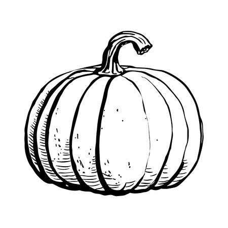 Ink sketch of pumpkin isolated on white background. Hand drawn vector illustration of a sketch style. . Retro style. 矢量图像