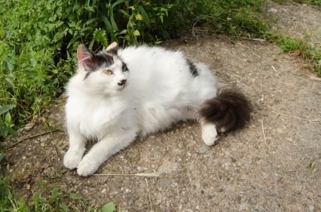 calico cat: Pregnant calico cat resting in yard Stock Photo