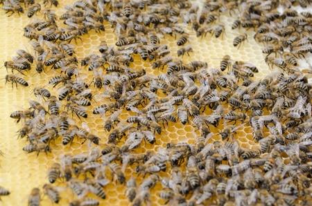 bee swarm: Bee swarm working and make honey