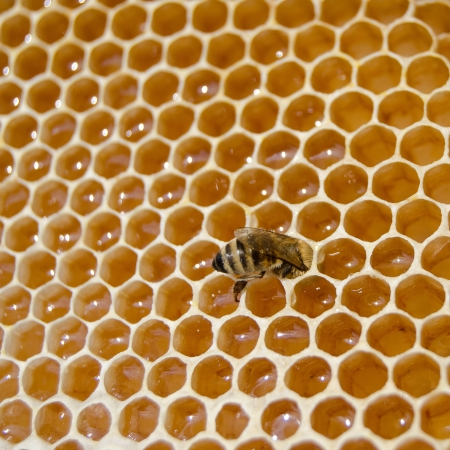 Bee in honey cell photo