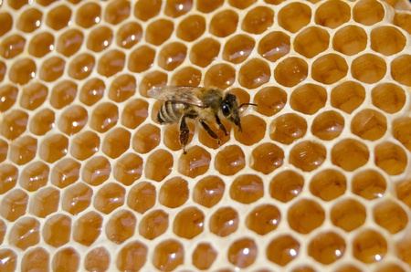 bee eat honey from cells photo