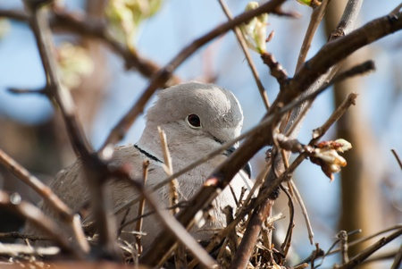 Turtledove lies on she eggs  in nest on tree photo