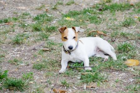 pupy: Young JR terrier lies on grass