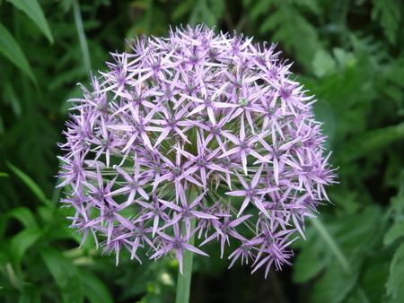 allium: Star of Persia (Persian Onion, Allium christophii, Allium cristophii, Allium albopilosum)