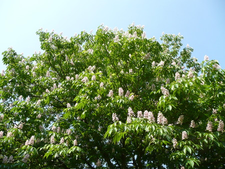 horse chestnut': Aesculus indica (Indian horse chestnut) Stock Photo