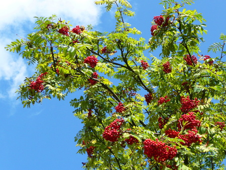 aucuparia: Sorbus aucuparia (Rowan, European Rowan, Mountain ash, European mountain ash) - tree with ripe fruit Stock Photo
