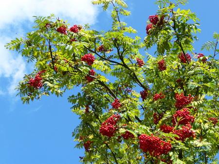 sorbus: Sorbus aucuparia (Rowan, European Rowan, Mountain ash, European mountain ash) - tree with ripe fruit Stock Photo