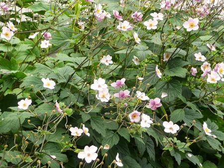 windflower: Anemone (Anemone hupehensis var. japonica, Chinese anemone, Japanese anemone, thimbleweed, windflower)