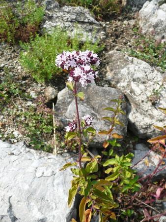 wild marjoram: Origanum vulgare (oregano, wild marjoram)