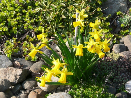 Yellow daffodils (narcissus, jonquil) in spring