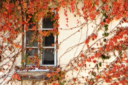Old wooden window covered by red ivy leaves photo