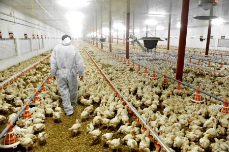 industry inside: A farmer veterinary walks inside a poultry farm