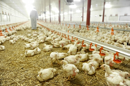 Poultry farm interior with a farmer veterinary in background