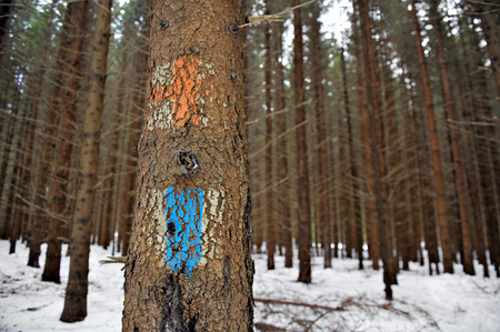 Old tourist routes markings with red cross and blue strip on a fir tree photo