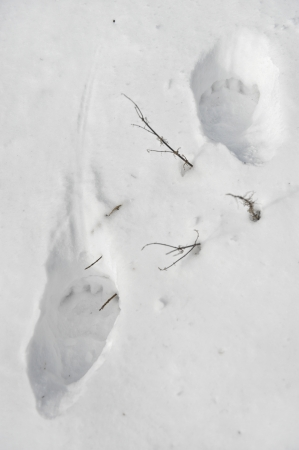 Big bear tracks in fresh powder snow photo