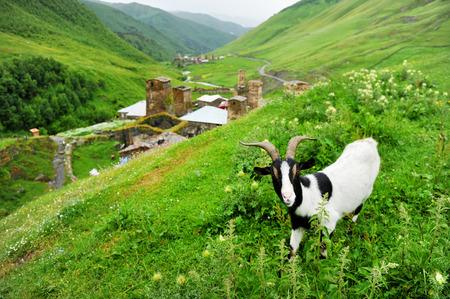 svan: Una capra e antica Svan torri sono visti nel villaggio di Ushguli nella regione Svaneti superiore in Georgia Archivio Fotografico