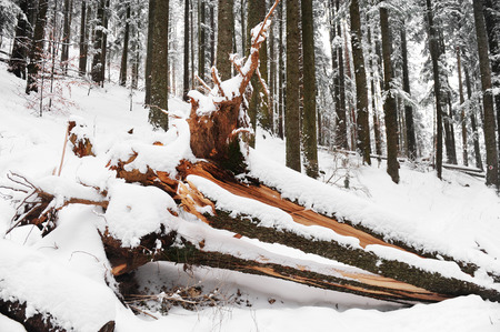 winter storm: Pine forest with an uprooted tree after winter storm Stock Photo