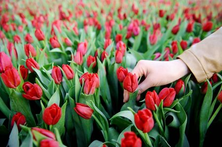 red tulip: Womans hand picking up a red tulip from a tulip field in a greenhouse