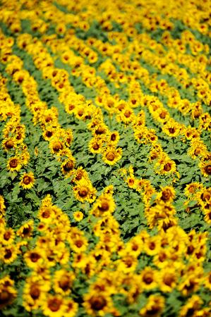 girasol: Filas de girasoles en un campo de girasol en julio Foto de archivo