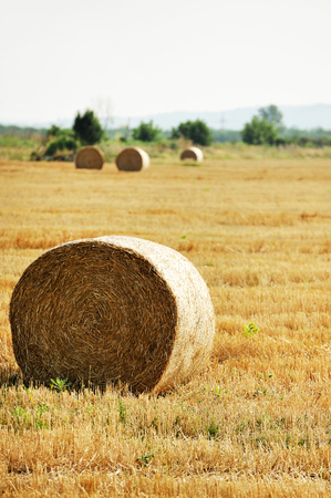 hay field: Several hay bales ready for harvest on a hay field