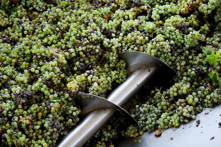 Verschiedene Arten von Trauben werden von Industrietrauben Brecher Maschine zerkleinert Standard-Bild