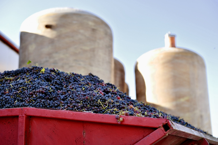 fermentation: Heap of barely harvested red grapes with industrial fermentation tanks in background