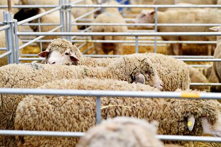 dozens: Dozens of sheep grazing inside a pen in a sheep farm