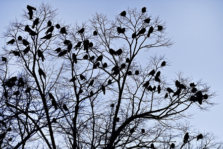 cuervo: Lots of crows silhouettes in a tree shot against dusk sky
