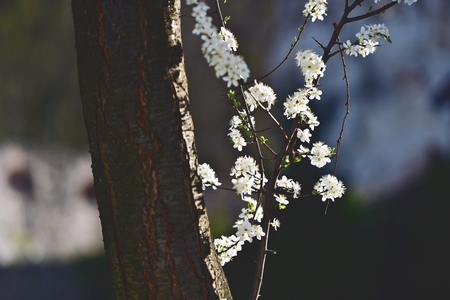 Vintage shot with blooming white cherry flowers on a tree in springtime