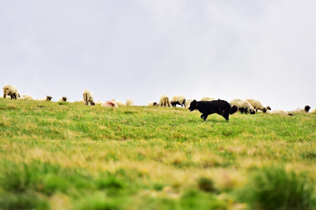 shepherd sheep: Shepherd dog protecting sheep herd grazing high on alpine pasture Stock Photo