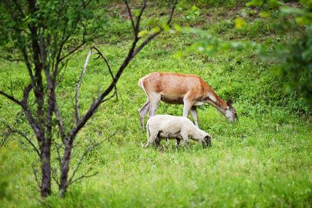 graze: A deer graze next to sheep on a meadow Stock Photo