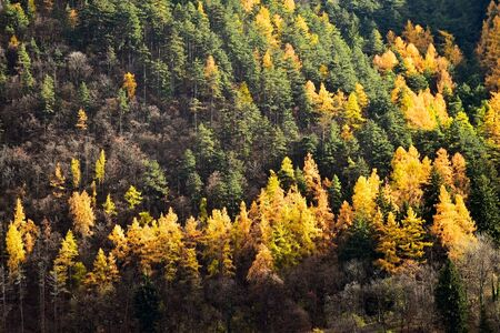 Contrast between larch trees and pine trees in autumn season Stock Photo