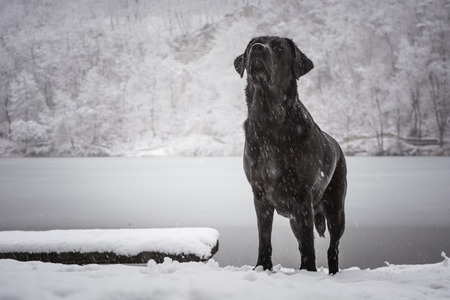 Looking up black dog Labrador Retriever with a frozen lake and snowed forest in the background Zdjęcie Seryjne