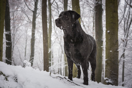 Black dog Labrador Retriever in the forest covered with snow with trees in a background Zdjęcie Seryjne
